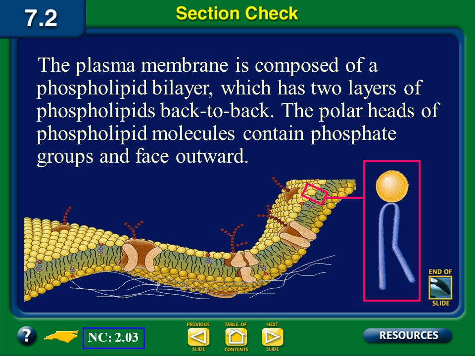 The plasma membrane is composed of a phospholipid bilayer, which has two layers of phospholipids back-to-back. The polar heads of phospholipid molecules contain phosphate groups and face outward.
