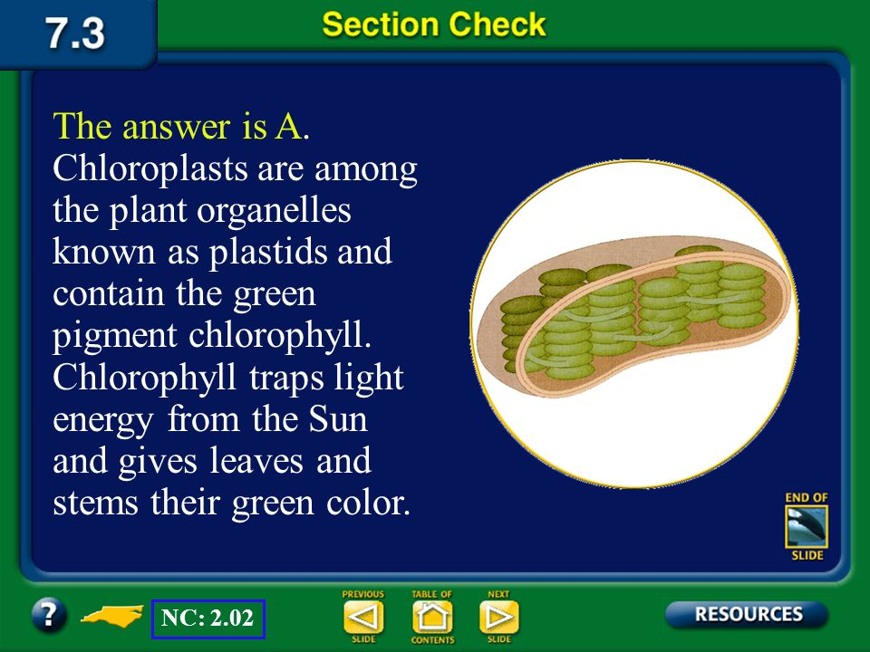 The answer is A. Chloroplasts are among the plant organelles known as plastids and contain the green pigment chlorophyll. Chlorophyll traps light energy from the Sun and gives leaves and stems their green color.