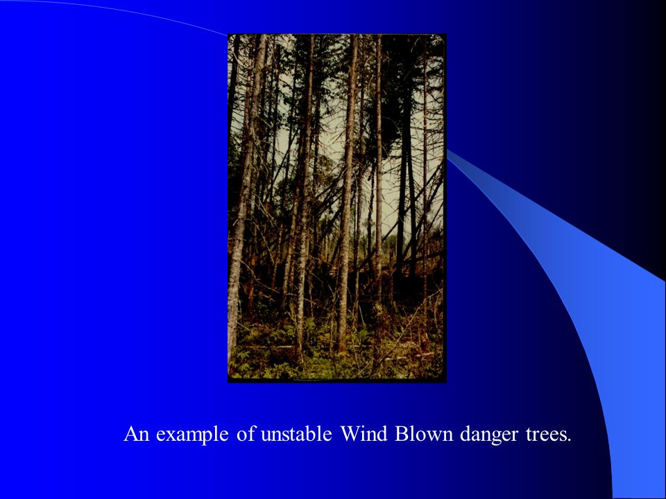 An example of unstable Wind Blown danger trees.