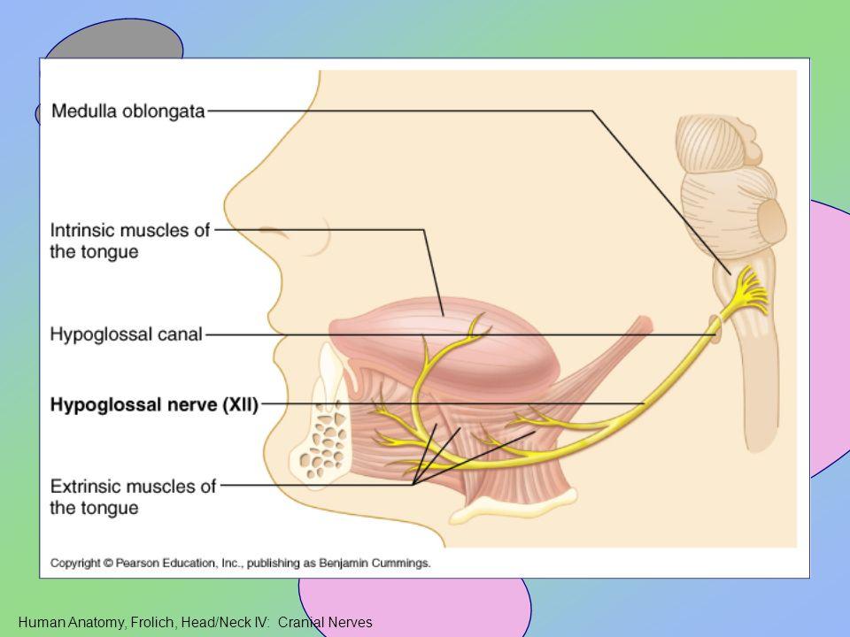 Human Anatomy, Frolich, Head/Neck IV: Cranial Nerves