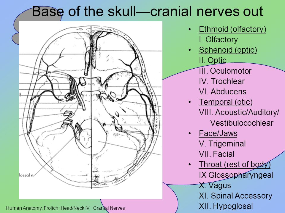 Base of the skull—cranial nerves out