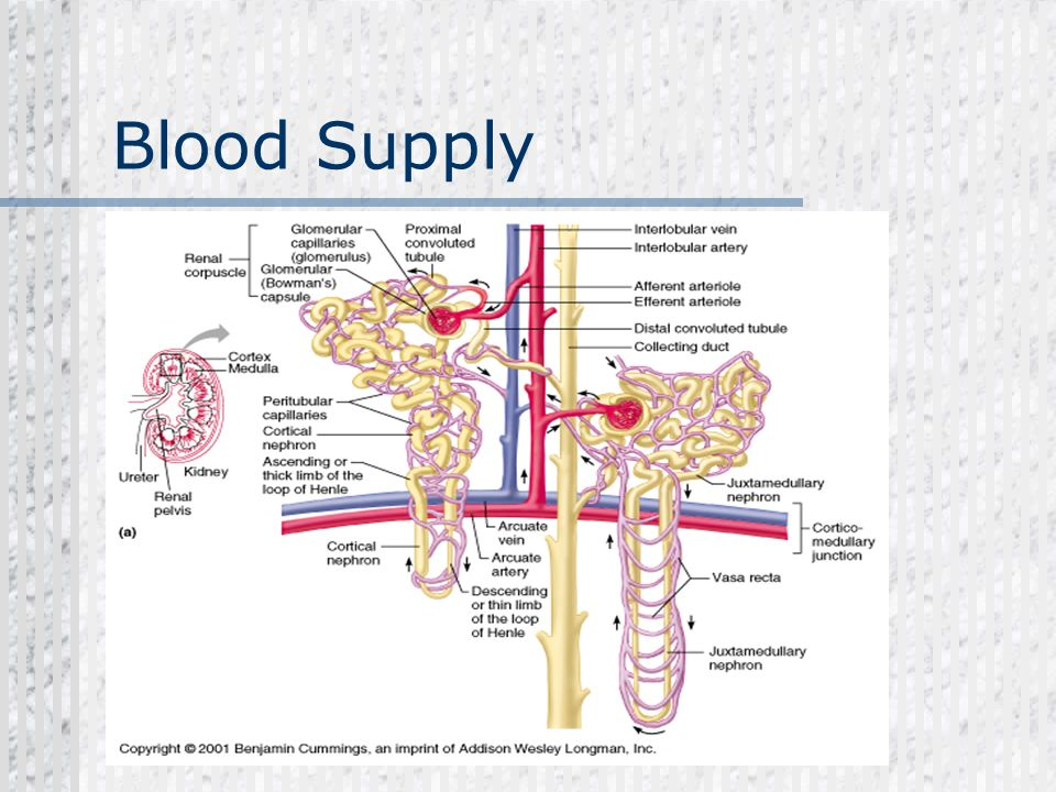 Blood Supply