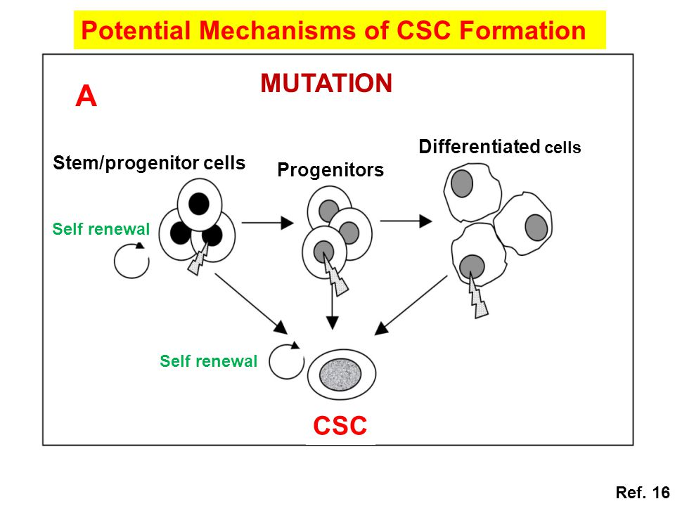 A Potential Mechanisms of CSC Formation MUTATION CSC