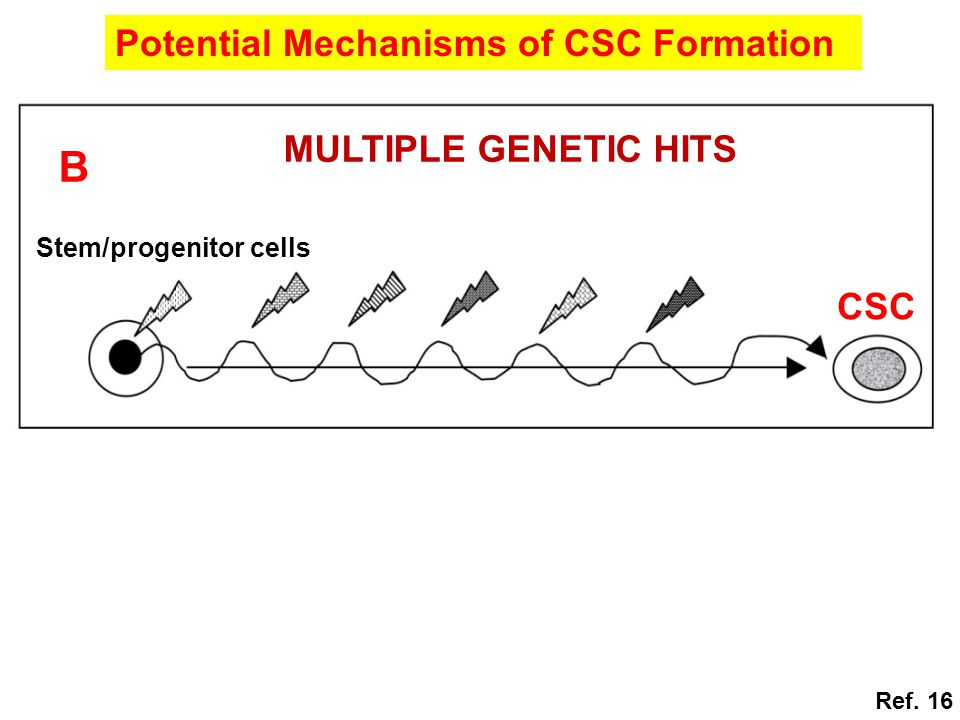 B Potential Mechanisms of CSC Formation MULTIPLE GENETIC HITS CSC
