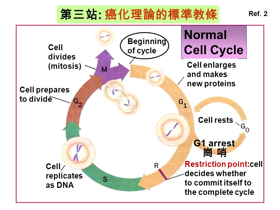 第三站: 癌化理論的標準教條 Normal Cell Cycle 崗 哨 G1 arrest Beginning of cycle Cell