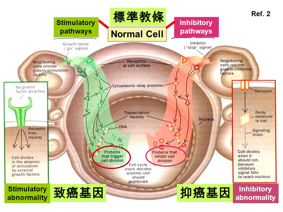 標準教條 致癌基因 抑癌基因 Normal Cell Ref. 2 Inhibitory pathways Stimulatory