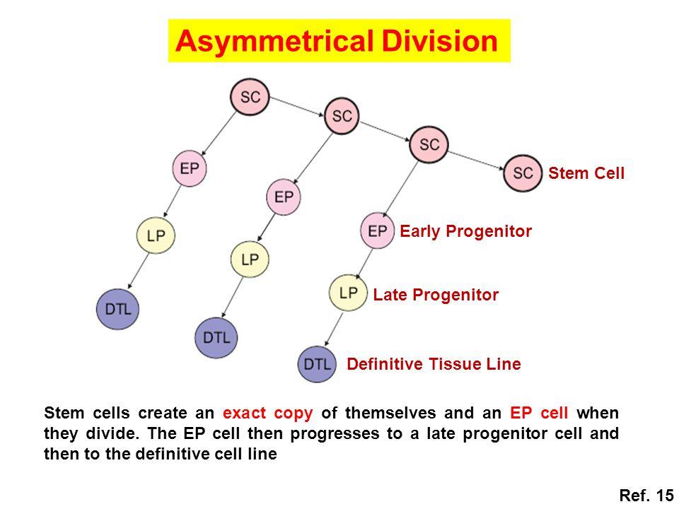 Asymmetrical Division