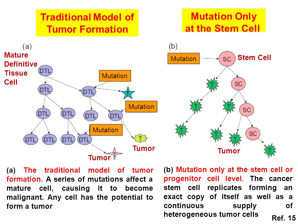 Traditional Model of Tumor Formation Mutation Only at the Stem Cell