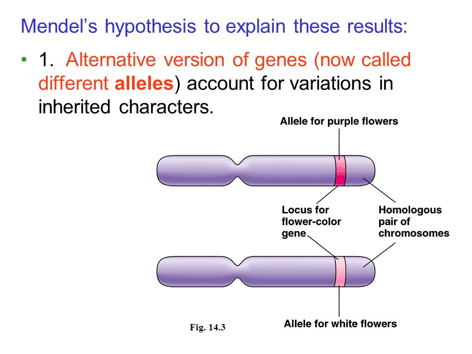 Mendel's hypothesis to explain these results: