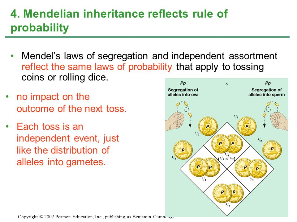 4. Mendelian inheritance reflects rule of probability