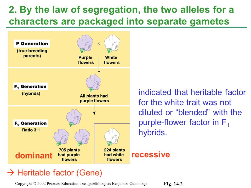 2. By the law of segregation, the two alleles for a characters are packaged into separate gametes