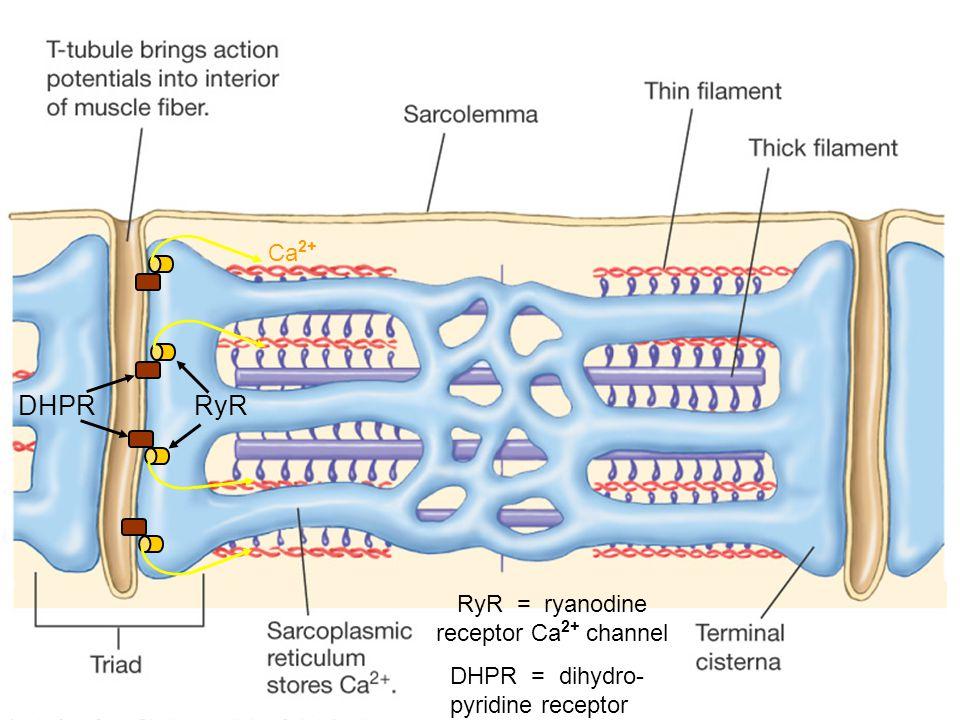 RyR = ryanodine receptor Ca2+ channel
