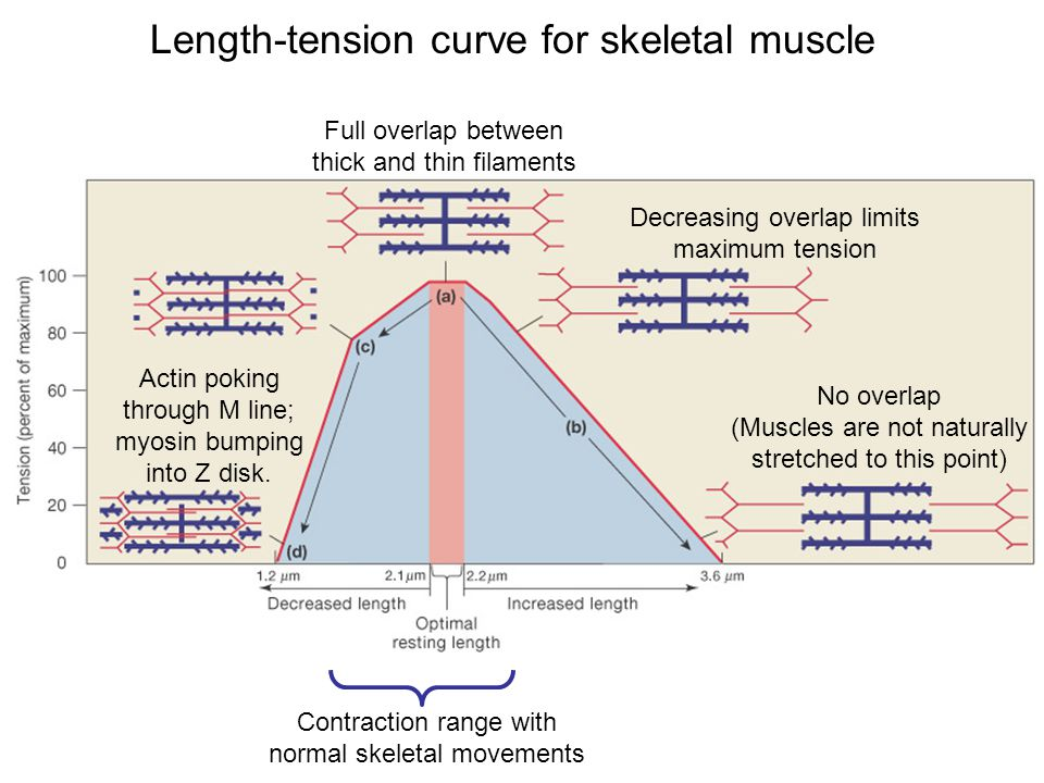 Length-tension curve for skeletal muscle