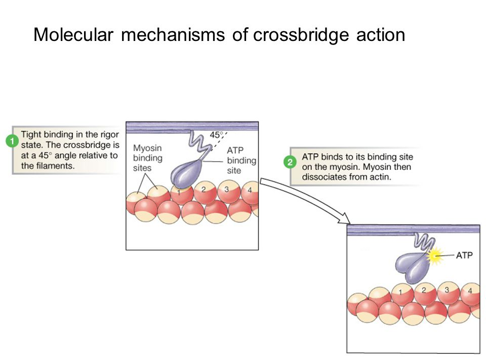 Molecular mechanisms of crossbridge action