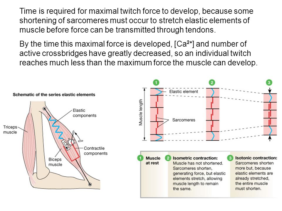 Time is required for maximal twitch force to develop, because some shortening of sarcomeres must occur to stretch elastic elements of muscle before force can be transmitted through tendons.