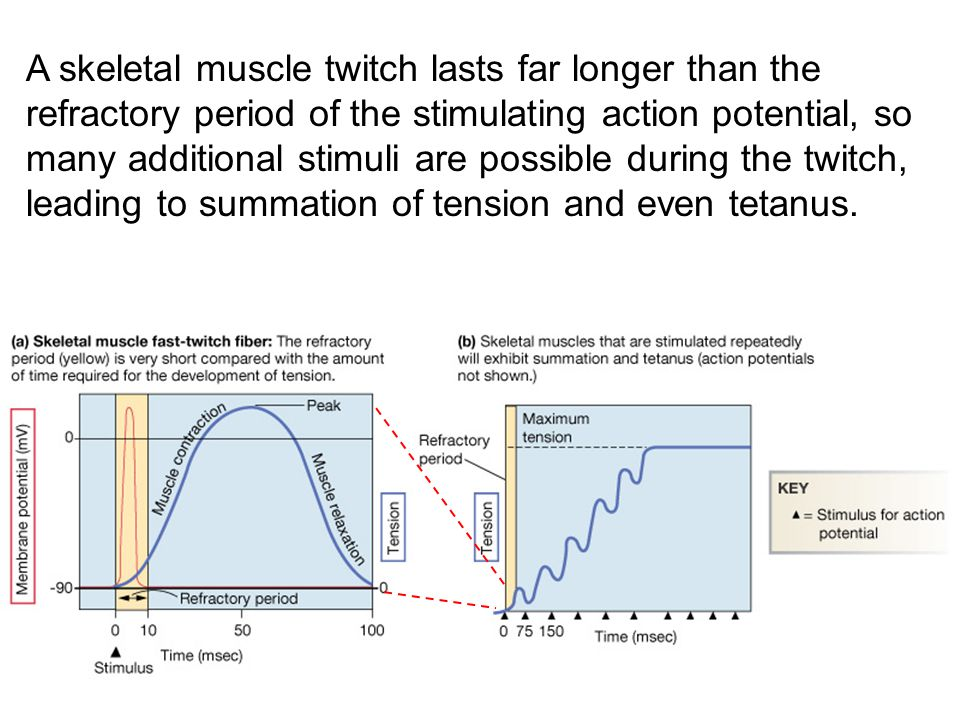 A skeletal muscle twitch lasts far longer than the refractory period of the stimulating action potential, so many additional stimuli are possible during the twitch, leading to summation of tension and even tetanus.