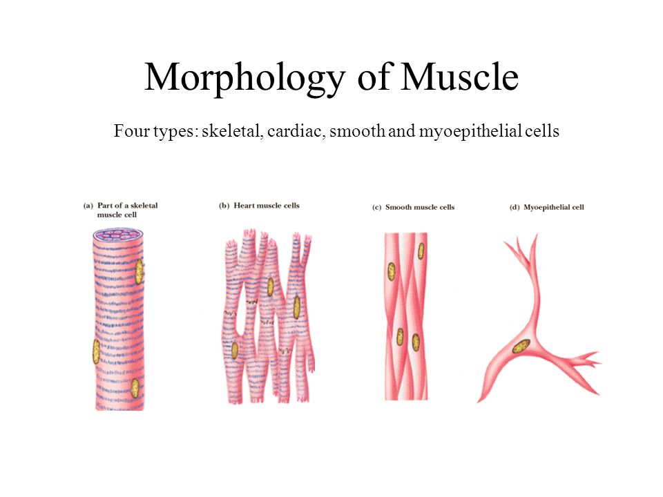 Four types: skeletal, cardiac, smooth and myoepithelial cells
