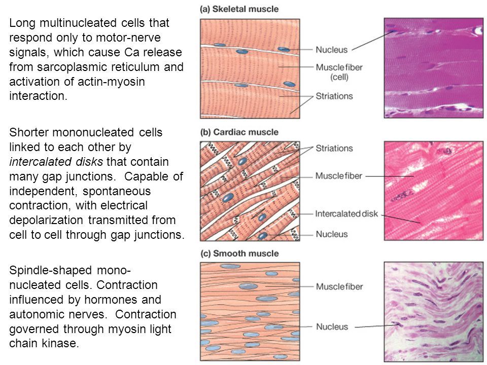Long multinucleated cells that respond only to motor-nerve signals, which cause Ca release from sarcoplasmic reticulum and activation of actin-myosin interaction.