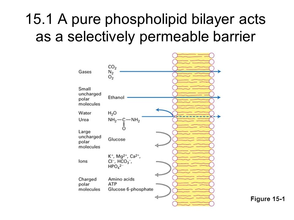 15.1 A pure phospholipid bilayer acts as a selectively permeable barrier