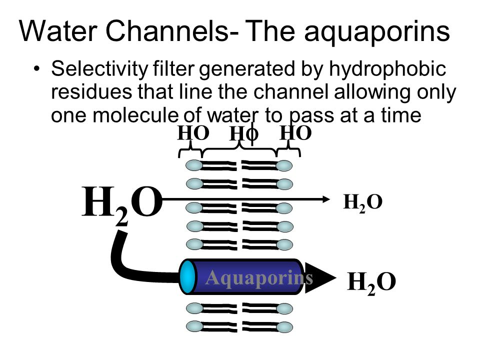 Water Channels- The aquaporins