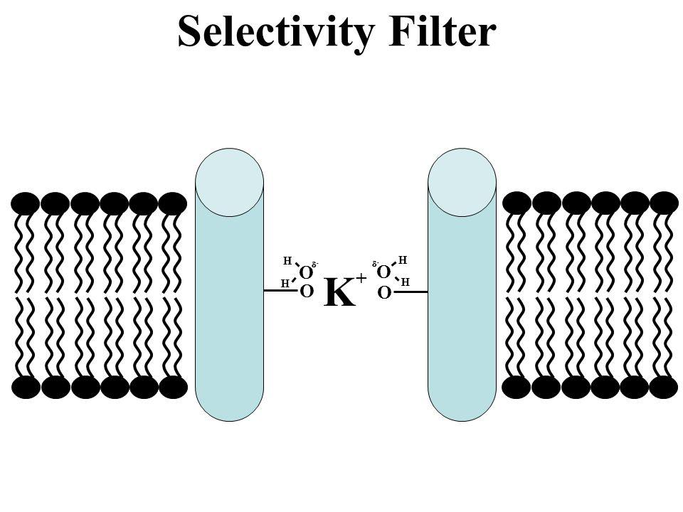 Selectivity Filter O H - O H - K+ O O