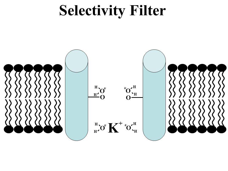 Selectivity Filter O H - O H - O O K+ O H - O H -