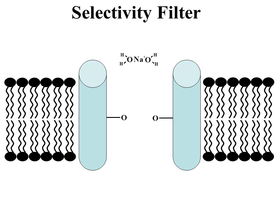 Selectivity Filter O H O H Na+ O O