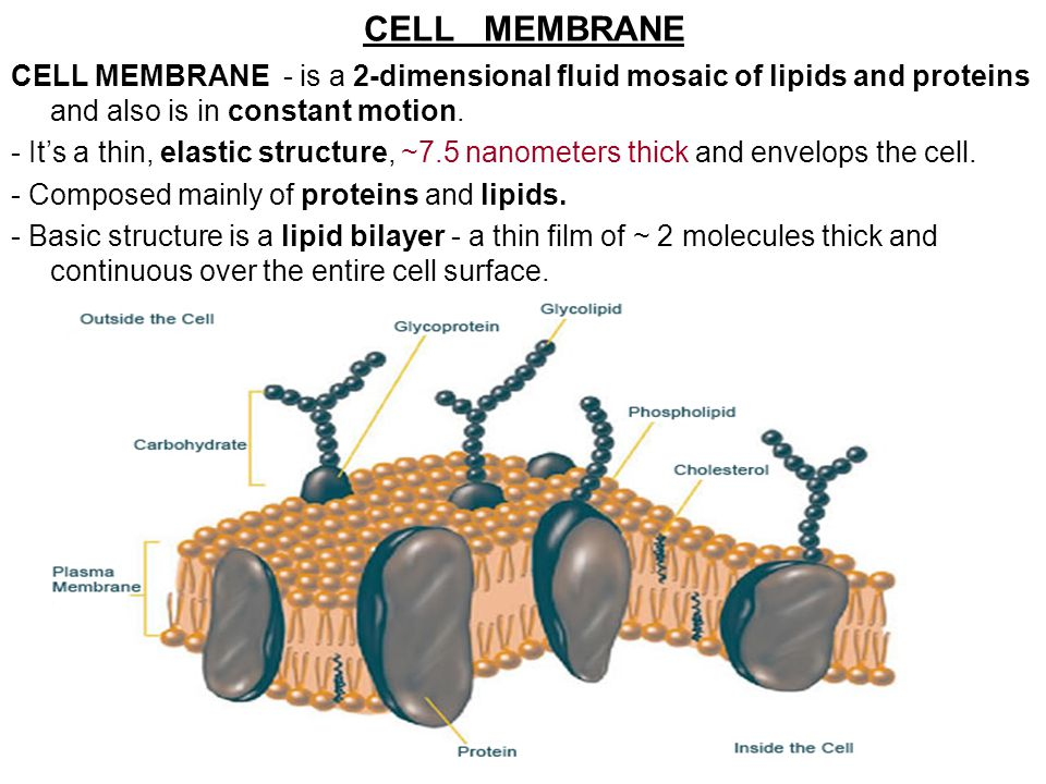 CELL MEMBRANE CELL MEMBRANE - is a 2-dimensional fluid mosaic of lipids and proteins and also is in constant motion.