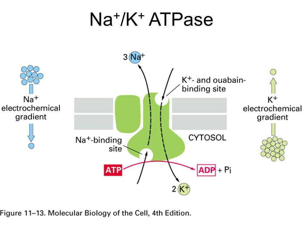 Na+/K+ ATPase