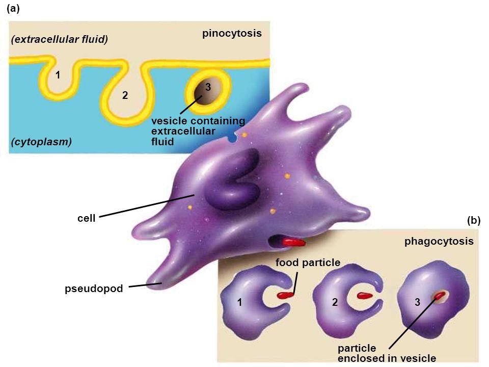 (extracellular fluid)