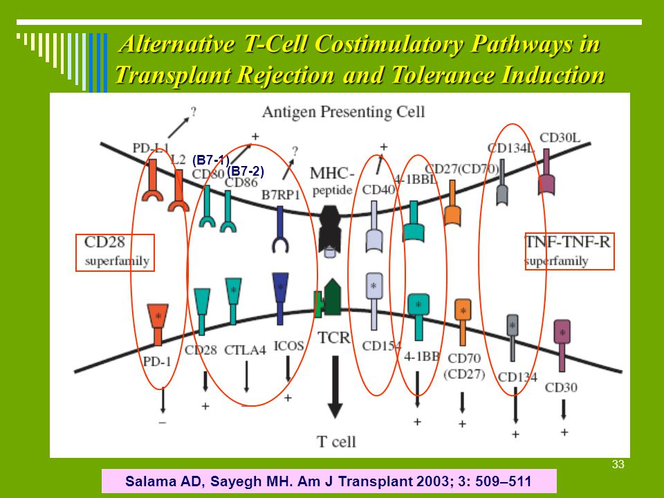 Alternative T-Cell Costimulatory Pathways in