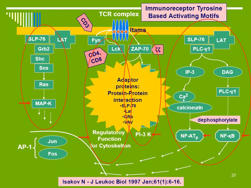 Immunoreceptor Tyrosine Based Activating Motifs TCR complex Itams AP-1
