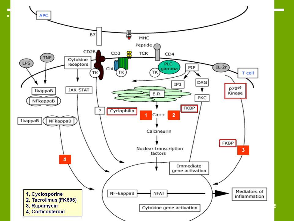1 2 3 4 1, Cyclosporine 2, Tacrolimus (FK506) 3, Rapamycin 4, Corticosteroid