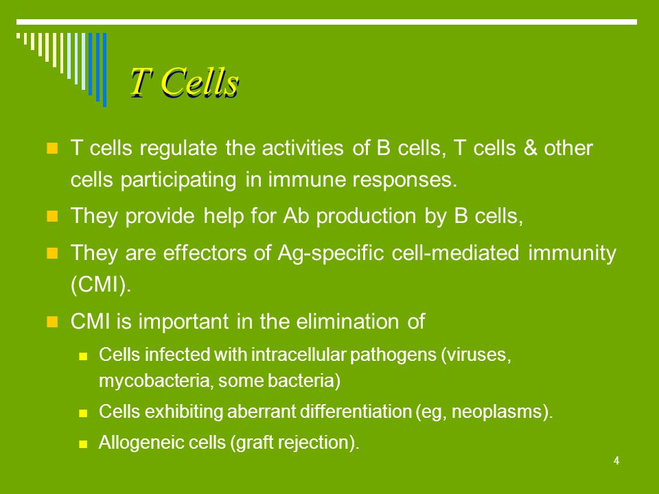 T Cells T cells regulate the activities of B cells, T cells & other cells participating in immune responses.