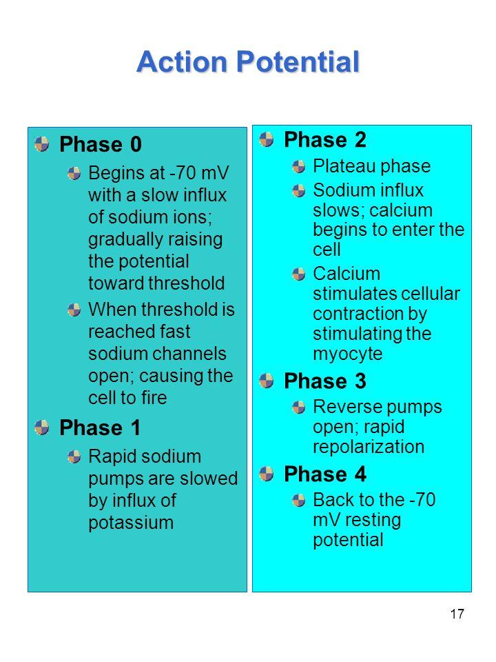 Action Potential Phase 0 Phase 2 Phase 3 Phase 1 Phase 4 Plateau phase