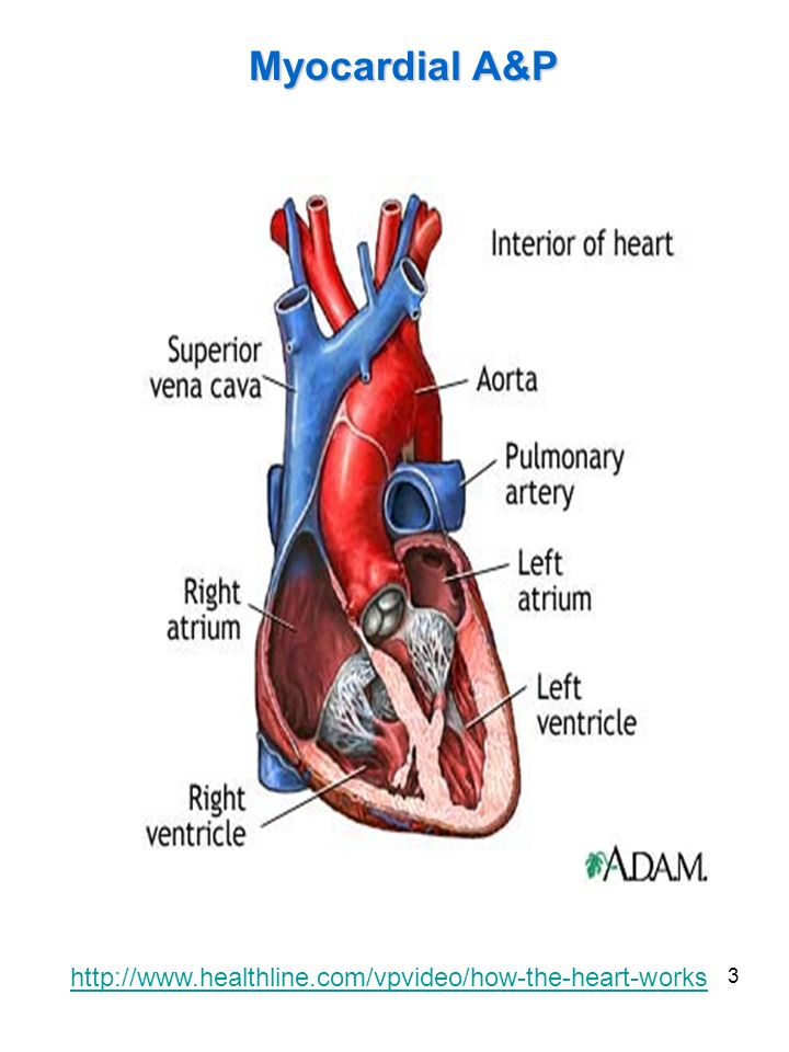 Myocardial A&P http://www.healthline.com/vpvideo/how-the-heart-works