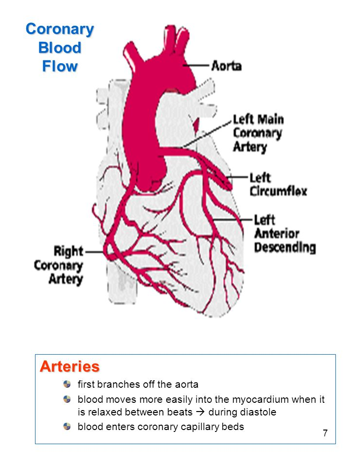 Coronary Blood Flow Arteries first branches off the aorta