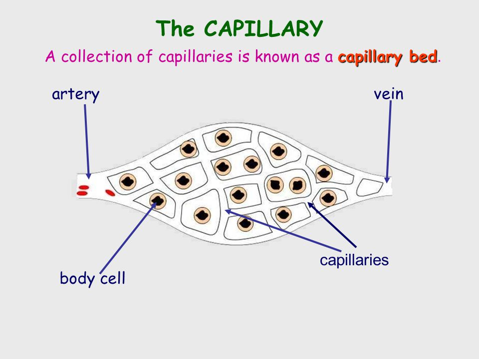 The CAPILLARY A collection of capillaries is known as a capillary bed.