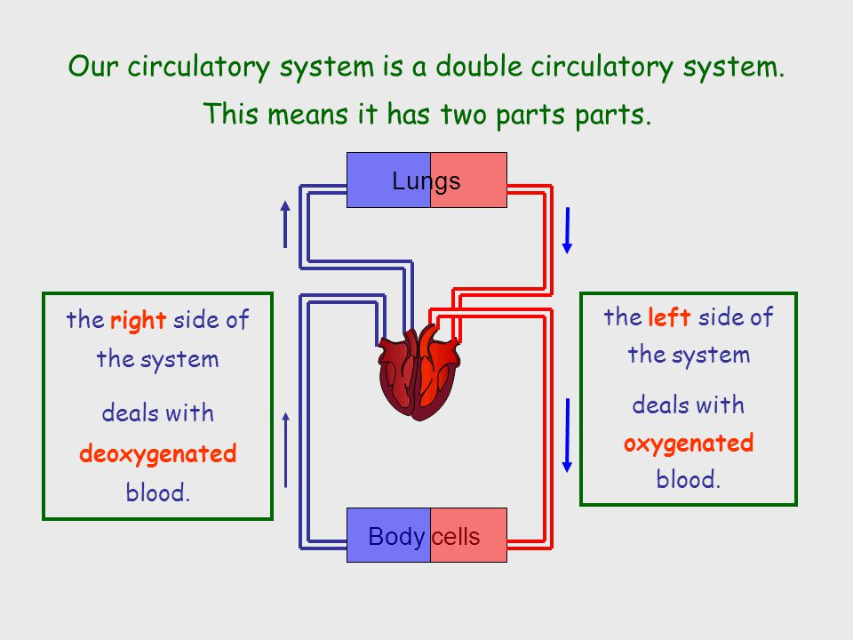 Our circulatory system is a double circulatory system.