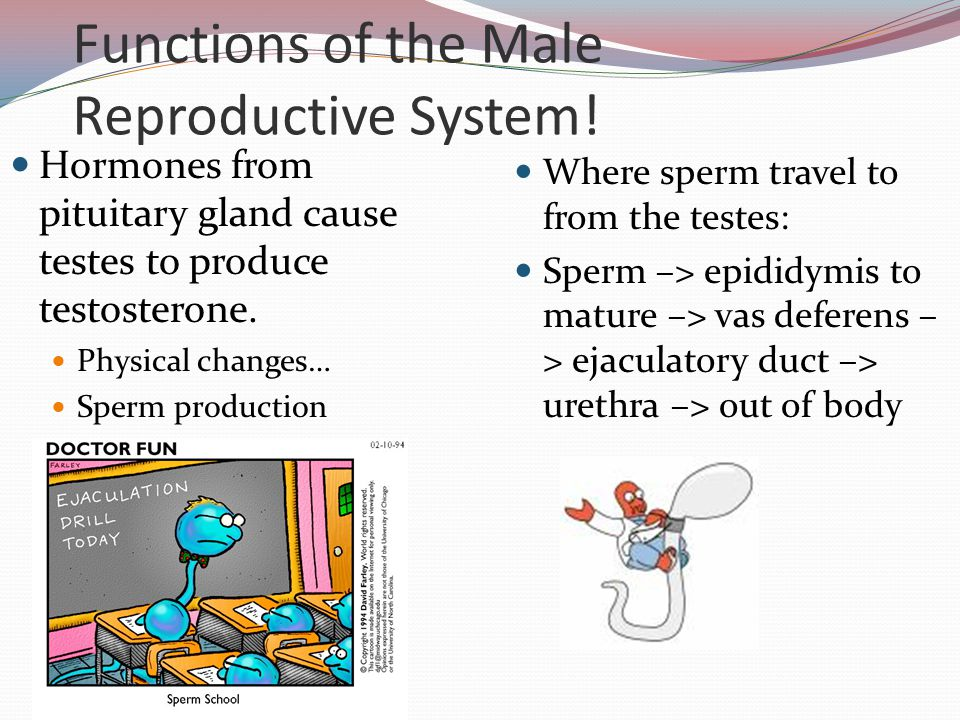Functions of the Male Reproductive System!