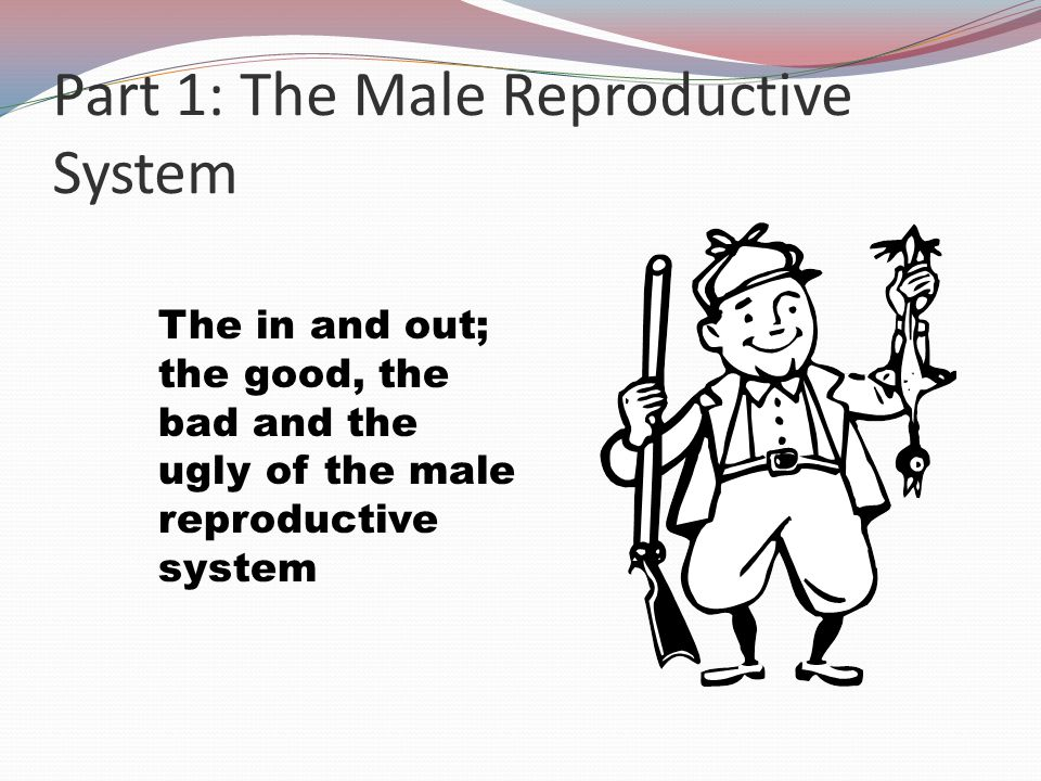 Part 1: The Male Reproductive System