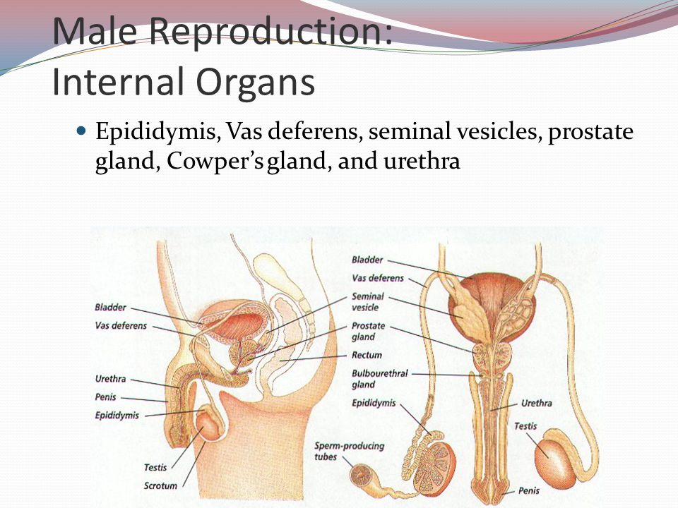 Male Reproduction: Internal Organs