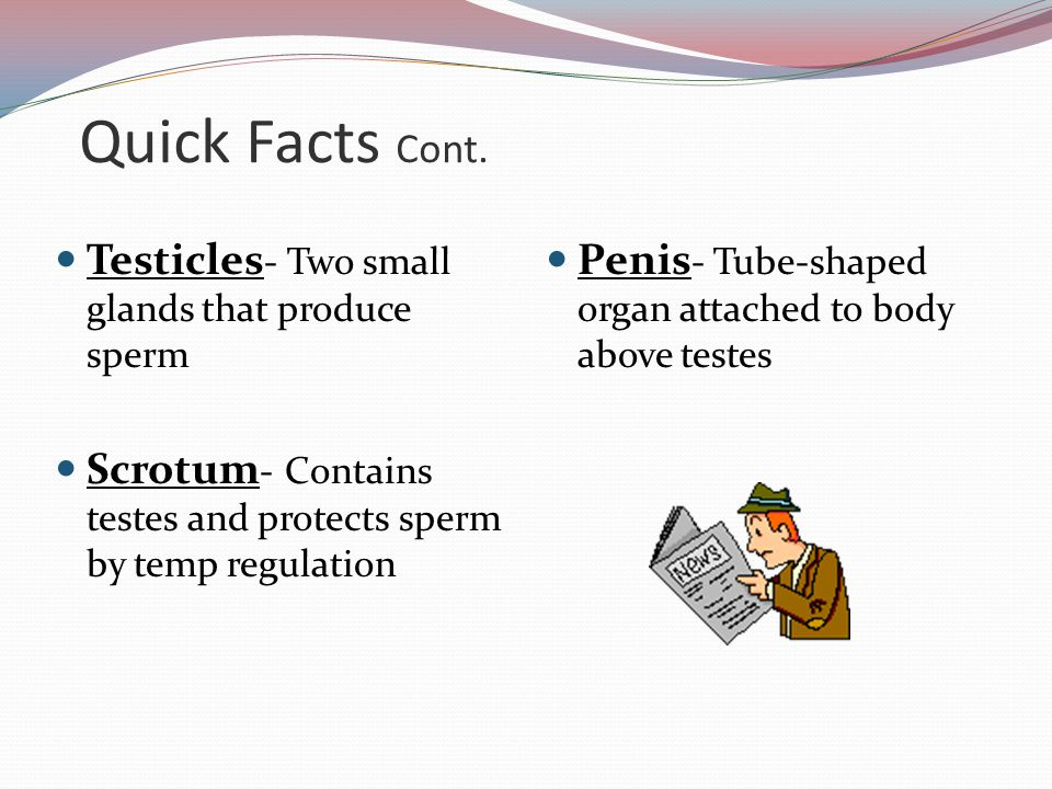 Quick Facts Cont. Testicles- Two small glands that produce sperm