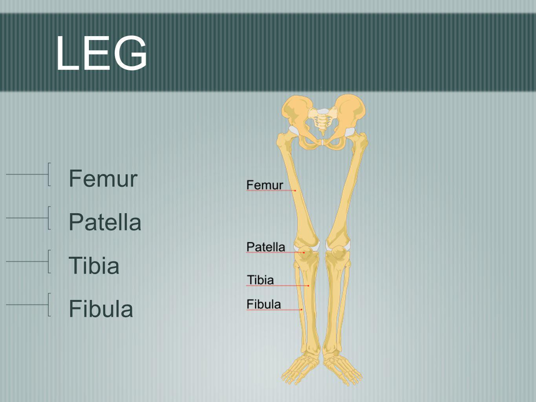 LEG Femur Patella Tibia Fibula