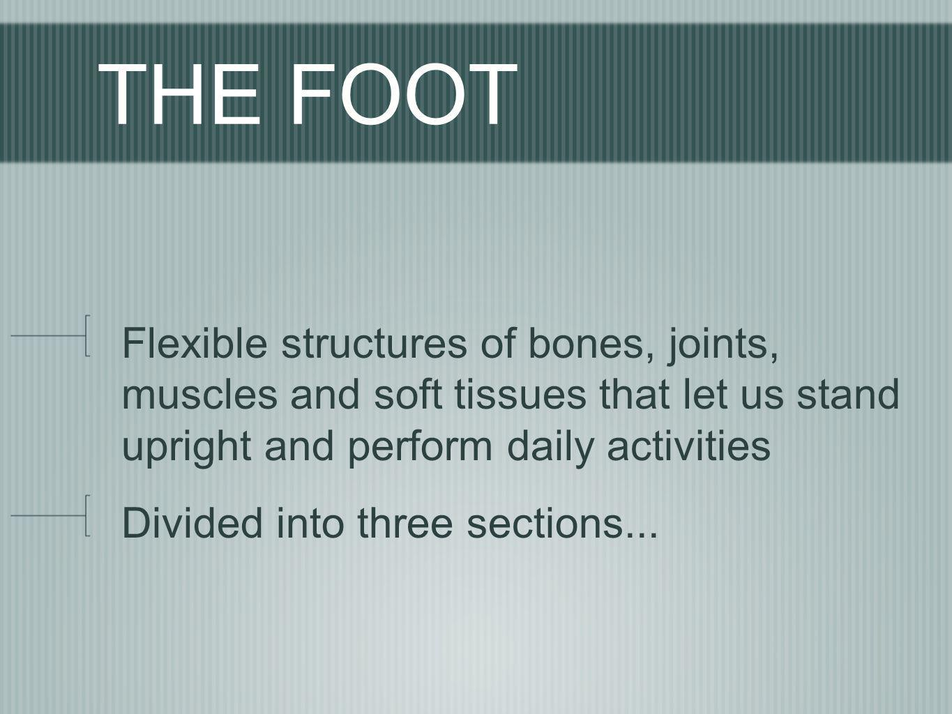 THE FOOT Flexible structures of bones, joints, muscles and soft tissues that let us stand upright and perform daily activities.
