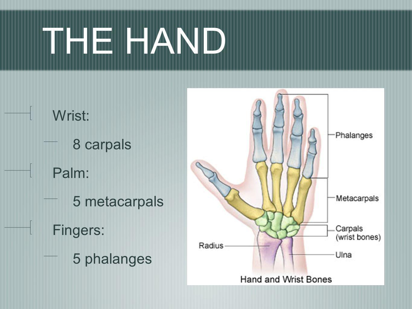 THE HAND Wrist: 8 carpals Palm: 5 metacarpals Fingers: 5 phalanges