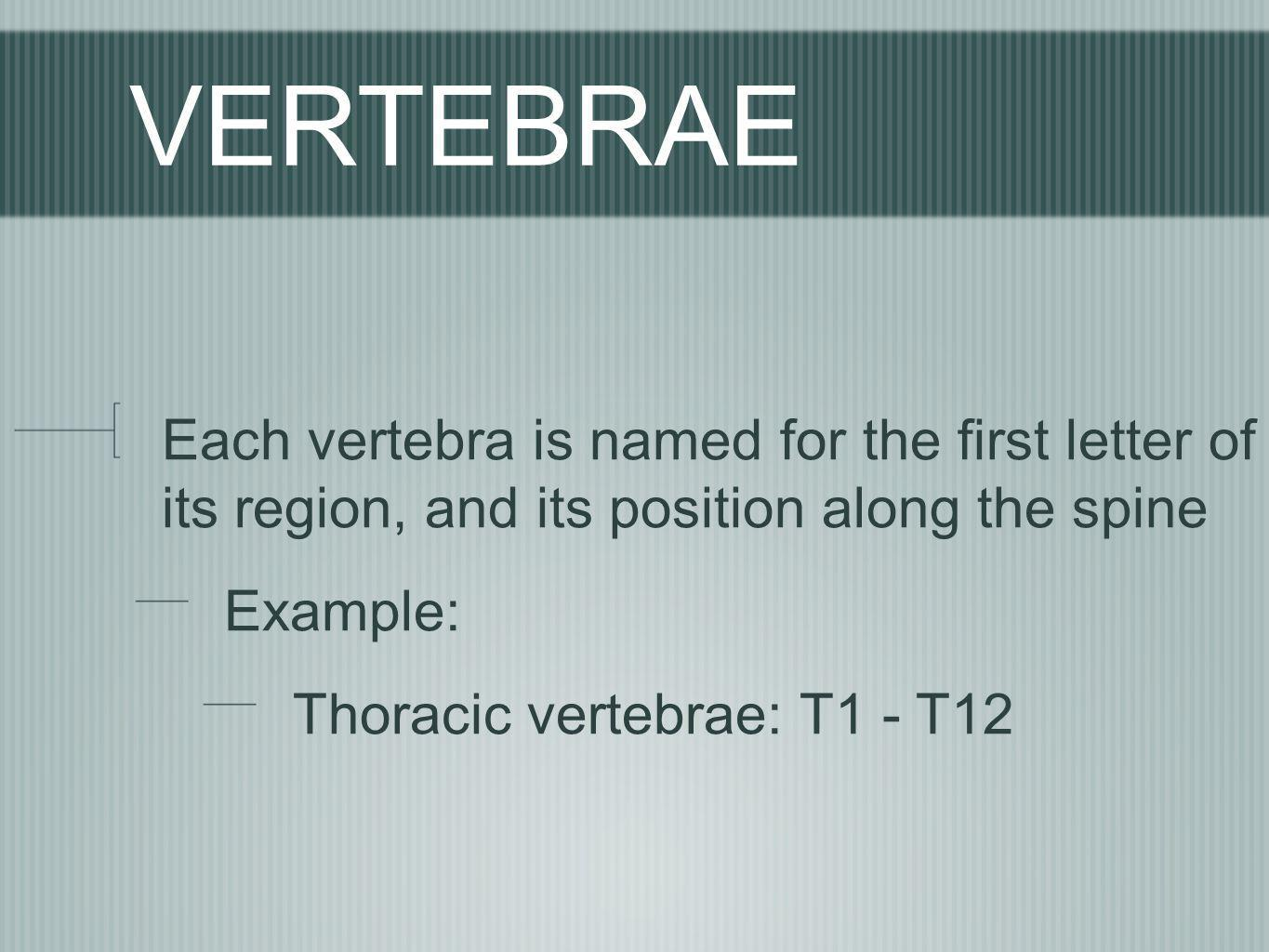 VERTEBRAE Each vertebra is named for the first letter of its region, and its position along the spine.