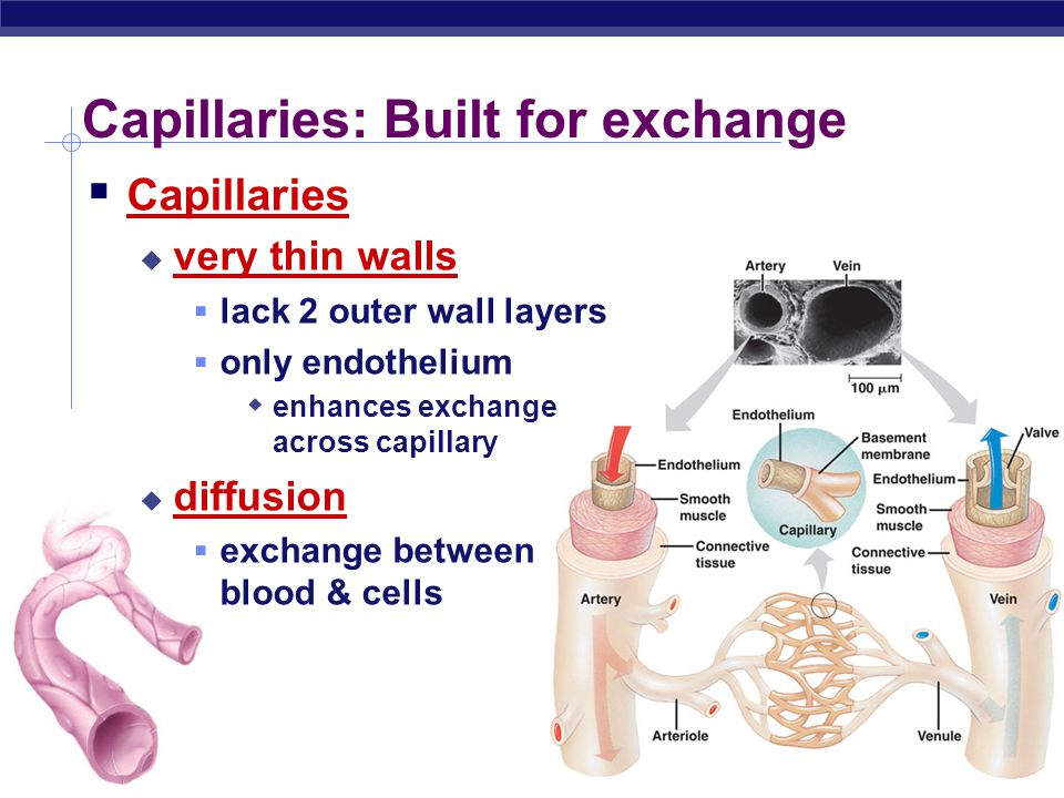 Capillaries: Built for exchange