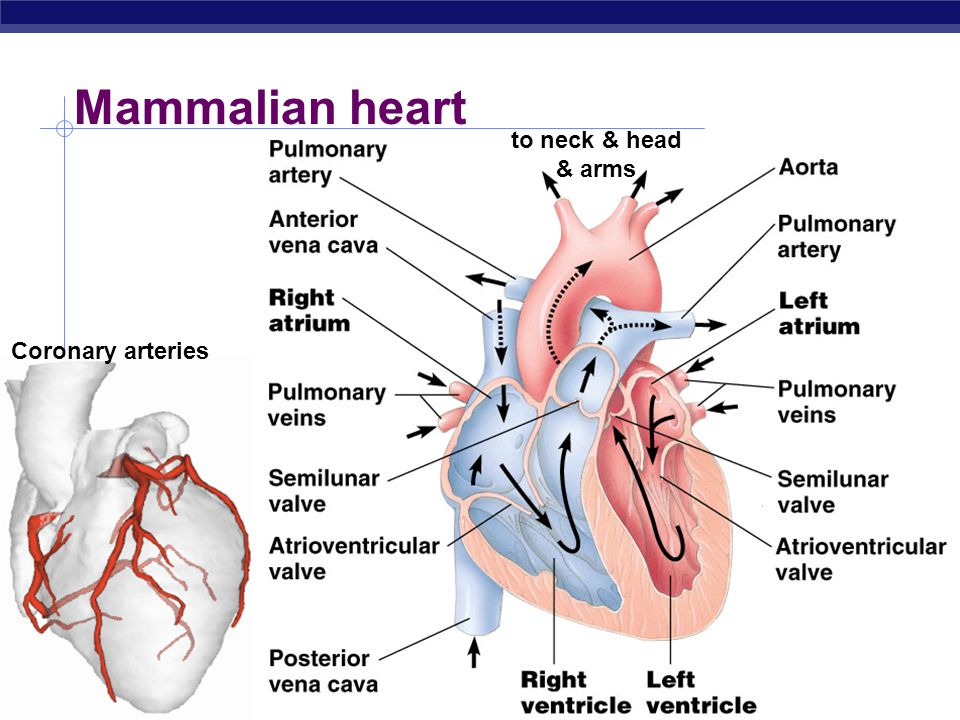 Mammalian heart to neck & head & arms Coronary arteries