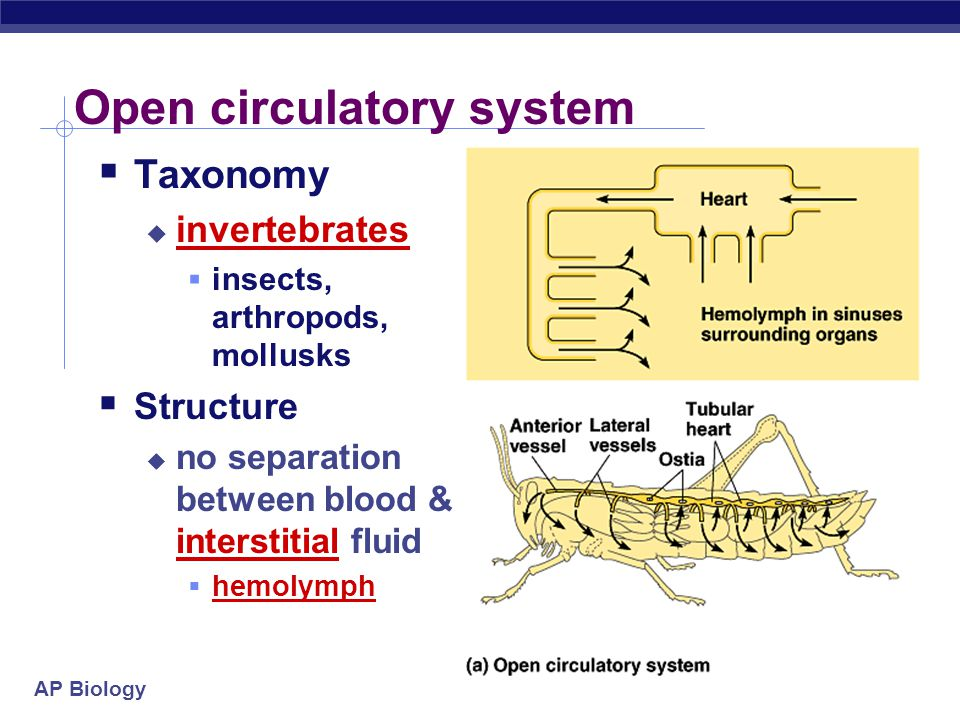 Open circulatory system